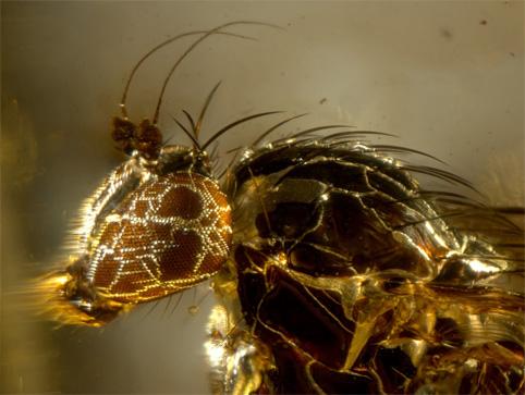 Dans une ambre, Ze mouche